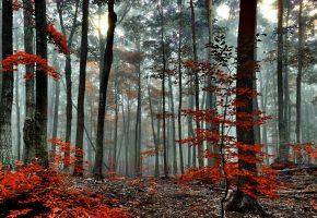 Лес, осень, туман, деревья, утро, ветки, листья