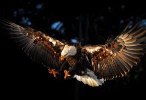 Обои Птица, eagle, орел, крылья, перья, лапы, клюв
