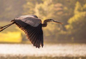 Обои Пруд, птица, полет, журавль, небо, крылья