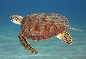 Обои Черепаха, под водой, плавники, панцирь