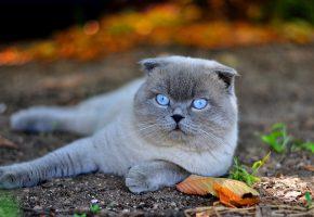 Обои Кот, кошка, вислоухий, глаза, голубые, лапы