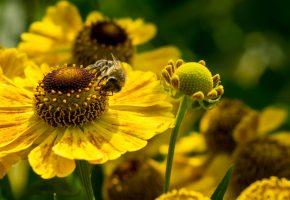 Обои цветы, лепестки, пчела, макро, насекомое, пыльца