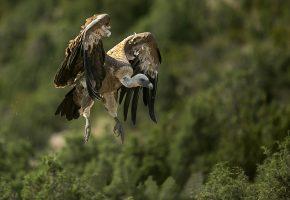 птица, гриф, клюв, крылья, хищник, в полете