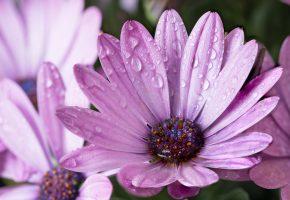 Обои цветок, сиреневые, лепестки, капельки, ромашка, после дождя