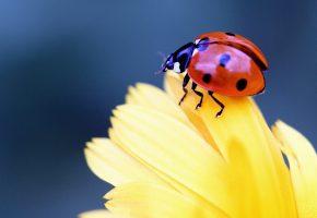 Обои макро, божья коровка, жук, насекомое, цветок, лепестки