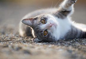 кошка, мордочка, взгляд, нос, усы, лапа