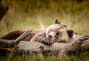 медведь, бурый, мишка, лапа, отдыхает, бревно