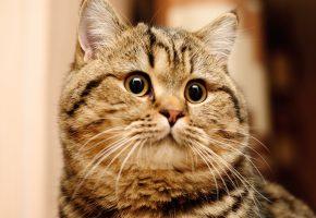 Кошка, кот, британская, короткошерстная, British Shorthair, уши