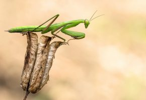 Обои Богомол, зеленый, лапки, крылья, усы, цветок
