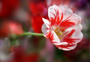Обои лепестки, стебель, тюльпан, полосатый, красный, белый
