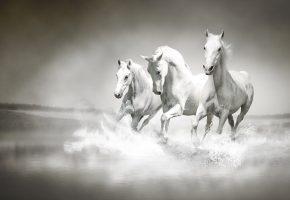 лошади, кони, белые, тройка, скачут, река, брызги, туман