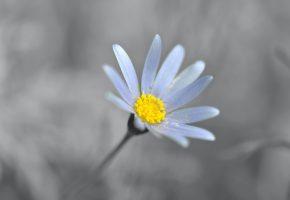 Обои Ромашка, лепестки, пыльца, цветок