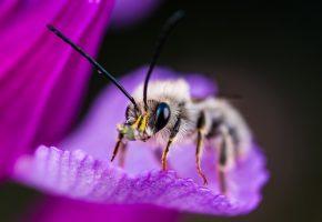 Обои насекомое, макро, лапки, усики, пчела, лепесток