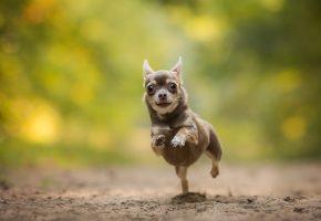 Обои чихуахуа, собака, пёсик, бег