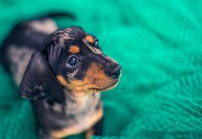 собака, щенок, морда, взгляд, уши, нос