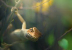 Обои ящерица, морда, глаз, лапки, взгляд