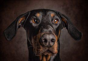Обои собака, уши, взгляд, портрет, нос, морда