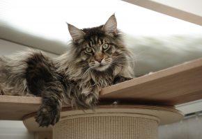 Обои Maine Coon, Мейн-Кун, кот, кошка, cat, шерсть