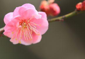 цветок, ветка, розовый, японский абрикос, лепестки