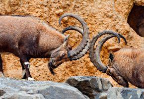 горный козел, рога, драка, камни, animals