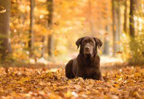 Обои собака, взгляд, друг, осень, листья