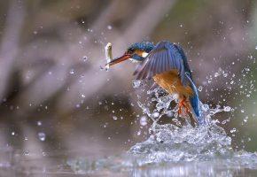 Птица, вода, рыба, брызги, макро, крылья