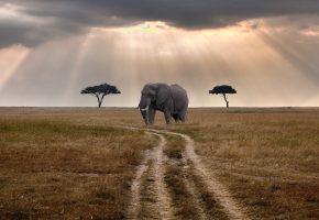 Обои Слон, хобот, бивни, уши, трава, дорога, лучи