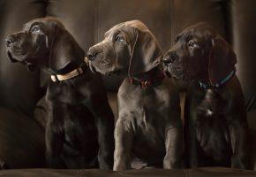 Немецкий дог, собаки, щенки, троица, трио, равнение