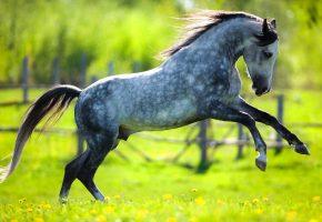 Обои лошадь, пятнистая, гарцует, поляна, лужайка, трава, одуванчики