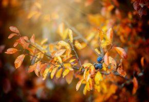 Обои ветка, листья, краски, ягоды, осень