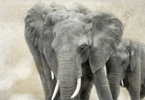 Обои слоны, природа, Африка, хобот, бивни, уши