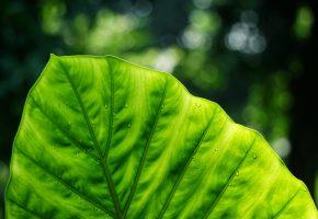 Обои лист, зелёный, макро, природа, капли