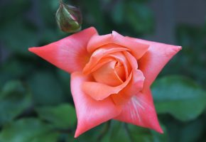 цветок, flower, бутон, лепестки