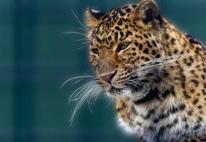 Обои леопард, морда, усы, нос, пятна