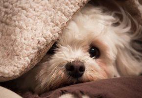 Обои собака, взгляд, друг, уют, дом, одеяло