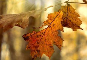Обои листья, сухие, осень, ветка