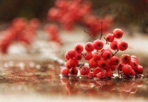 Обои Рябина, ветка, ягоды, лужа, макро