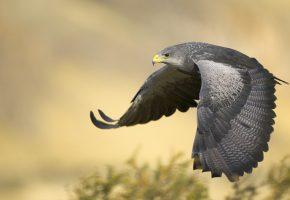 Обои птица, сокол, bird, flight, полет, крылья, перья