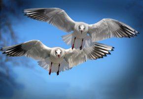 Обои чайки, птицы, полет, взмах, крылья
