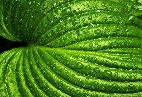 Обои Подорожник, поверхность, капли, зелень