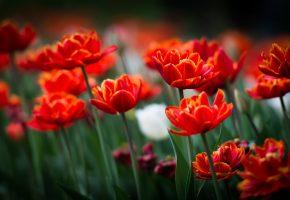 Обои цветы, весна, тюльпаны, красные, поле, лепестки
