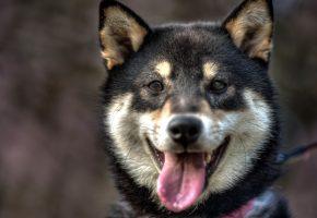 Обои собака, друг, взгляд, язык, морда