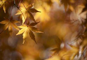 Обои осень, золотой, клён, ветки, листва