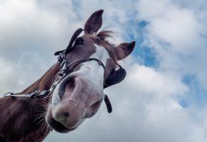 Обои конь, лошадь, морда, фон, уши, нос