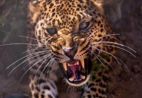 Обои леопард, хищник, морда, оскал, клыки