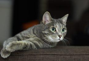 Обои кот, кошка, взгляд, уши, усы, лапы