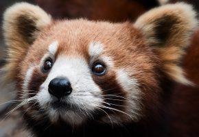 панда, мордашка, взгляд, макро, глаза