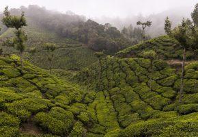 Идукки, Керала, Индия, чай, плантация, горы, деревья, туман