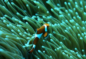 Обои рыба, риф, море, рыба клоун, плавники
