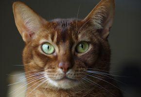 Абиссинская кошка, взгляд, глаза, фон, уши